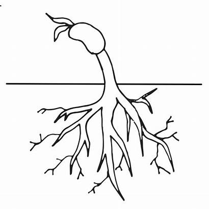 Plant Coloring Clipart Roots Cycle Worksheet Flower