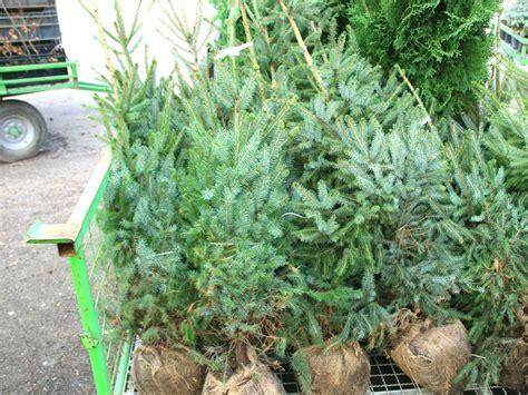top 28 weihnachtsbaum mit ballen top 28 nordmanntanne