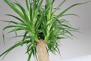 Palmen Für Drinnen : yucca palme palmlilie richtig berwintern in 11 schritten ~ Bigdaddyawards.com Haus und Dekorationen