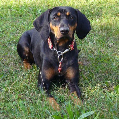 austrian black tan hound breed guide learn