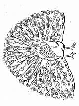 Peacock Coloring Pages Animals Birds sketch template