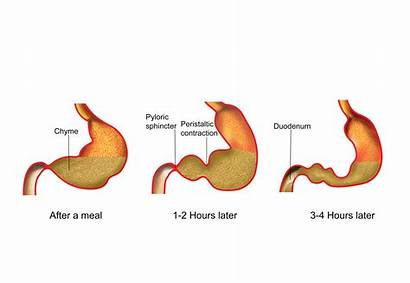 Stomach Chyme Movement Clipart Does Nroer Gastric
