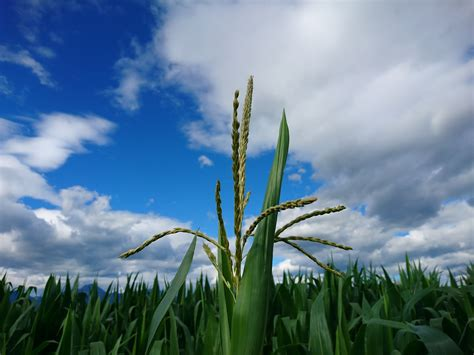 corn field sky clouds plants nature hd wallpapers