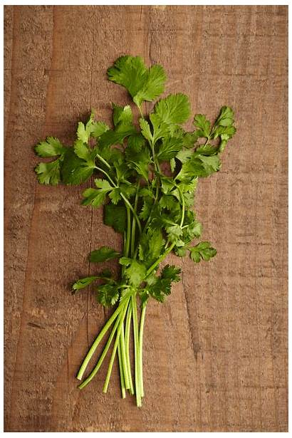Cilantro Anolon Parsley Herbs