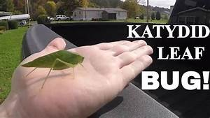 Katydid Leaf Bug