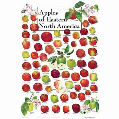 Poster Apples Eastern North America Water
