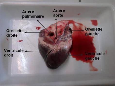cuisiner coeur de porc anatomie d 39 un coeur de porc
