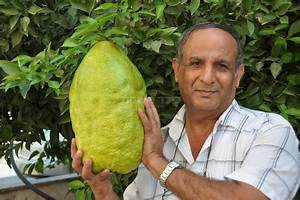 The Muqata: World's Biggest Etrog (not for the faint of heart)