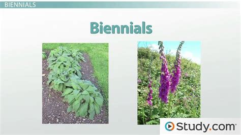 annual plant definition seasonal growth cycles perennial annual and biennial plants video lesson transcript