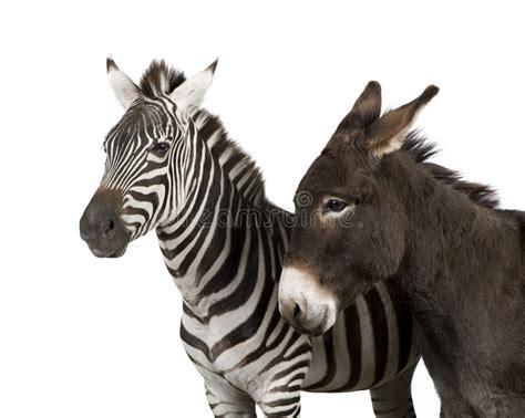 zebra donkey years solid vs side striped drinking water awnings choosing wild horse zebras background between