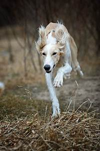 speed... by Alyat. Saluki on the chase.   Release the ...