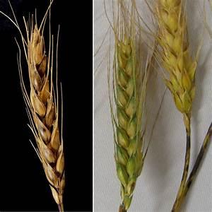 Diagnosing False Black Chaff In Wheat