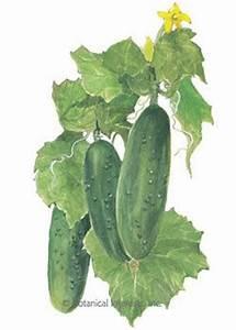 Cucumber Plant Drawing   www.pixshark.com - Images ...