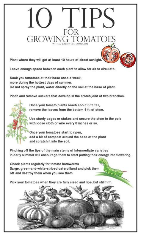 tomatoes growing tips 10 tips for growing tomatoes a healthy life for me