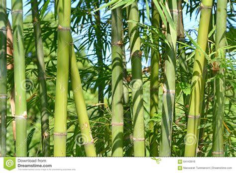 cuisiner les pousses de bambou cuisiner les pousses de bambou 28 images mangez vos