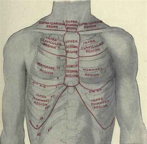 For the purpose of description the lungs are divided into zones: The Regions Of The Chest