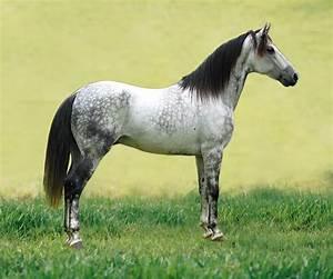 Carte Grise Prix Du Cheval 2016 : cheval wikip dia ~ Medecine-chirurgie-esthetiques.com Avis de Voitures