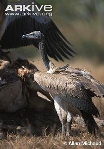 Slender-billed vulture videos, photos and facts - Gyps ...