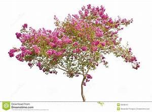 Rosa Blühender Baum Im Frühling : rosa bl hender baum getrennt auf wei stockbild bild ~ Lizthompson.info Haus und Dekorationen