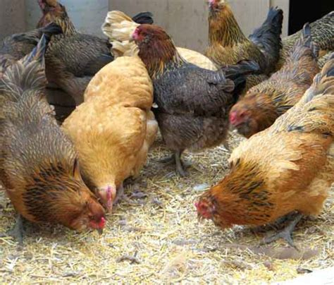 feed laying hens modern farming methods