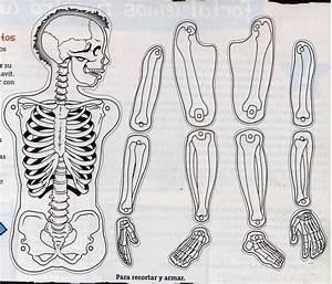 Maestra de Primaria: El cuerpo humano Esqueletos para montar