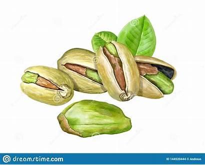 Pistachio Roasted Nuts Arrostiti Pistacchi Alcune Acquerello