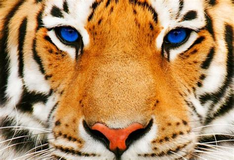 Animated Tiger Wallpaper - desktop hd animated pictures of tigers