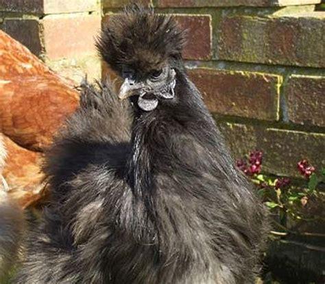 silkie chicken  furry muppet breed  chicken