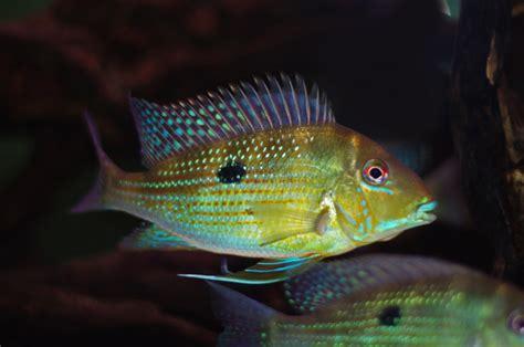 geophagus argyrostictus  fish