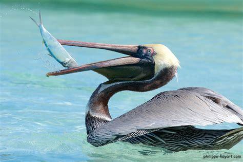 le de poche pelican philippe hayart philippe hayart