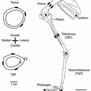 31 Opossum Skeleton Diagram