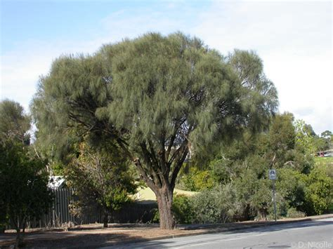 oak australia image gallery sheoak