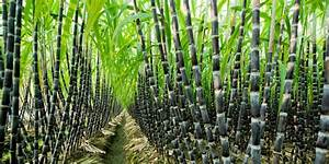 How To Start Profitable Sugarcane Farming In Nigeria ...