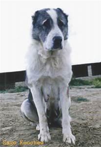 Afghan Tiger Dog