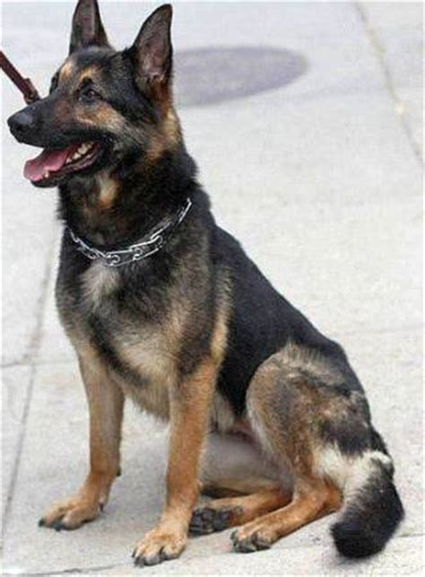 german shepherd dog breed information history health