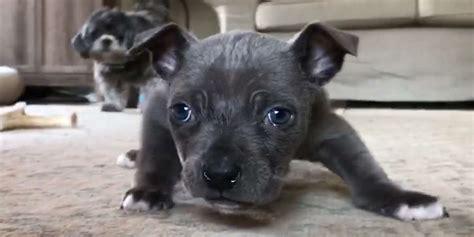 teeny pittie puppy  couldnt walk teaches