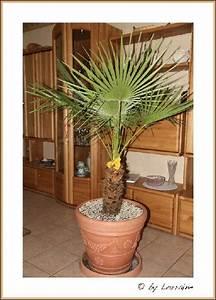 Palmen Für Draußen : palmen alle gattungen iii beliebte pflanzen ~ Michelbontemps.com Haus und Dekorationen