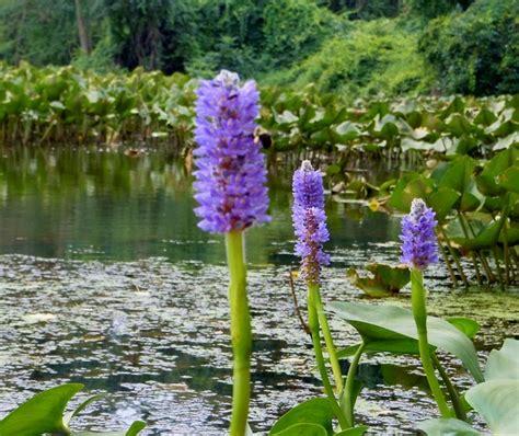indonesia tourism mengenal tanaman hias air marjinal