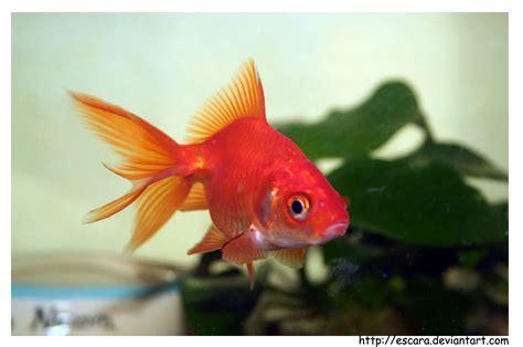 le petit poisson rouge by escara on deviantart