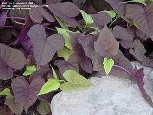 PlantFiles Pictures: Ipomoea, Ornamental Sweet Potato ...