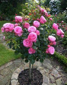 Heidelbeeren Pflanzen Zeitpunkt : die 13 besten bilder von bodendecker rosen bodendecker rosen garten und pflanzen ~ Orissabook.com Haus und Dekorationen