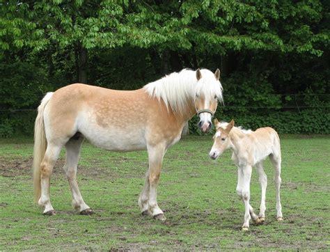 verschil pony en paard