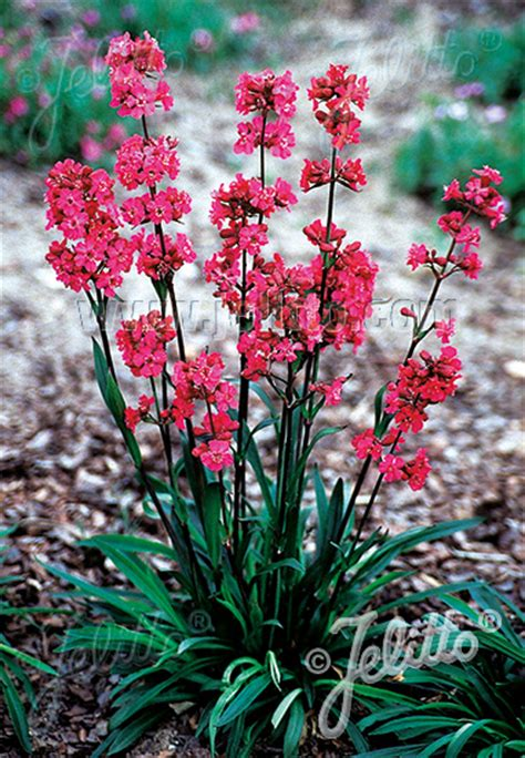 jelitto perennial seed lychnis viscaria splendens feuer
