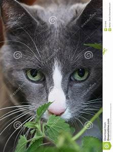 Grey, Cat, With, Green, Eyes, Royalty, Free, Stock, Image