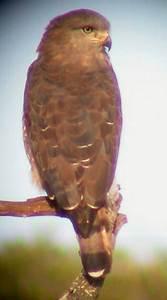 Southern Banded Snake Eagle – Circaetus fasciolatus ...