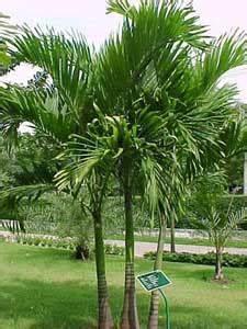 Palma de Navidad, Palma de Manila Veitchia merrillii