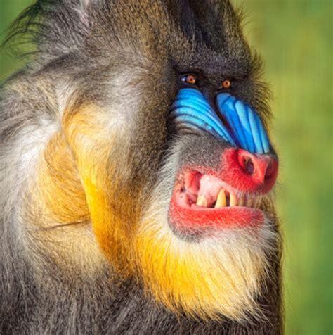 mandrill rafiki lion king pinterest animal