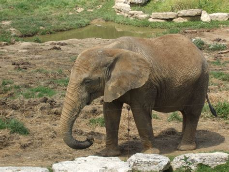 fileelephant zoo parc de beauvaljpg wikimedia commons