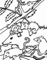 Possum Coloring Drawing Template Hanging Designlooter 763px 75kb sketch template