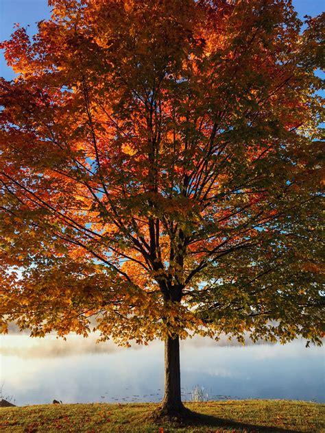 fall maple tree photo  aaron burden ataaronburden